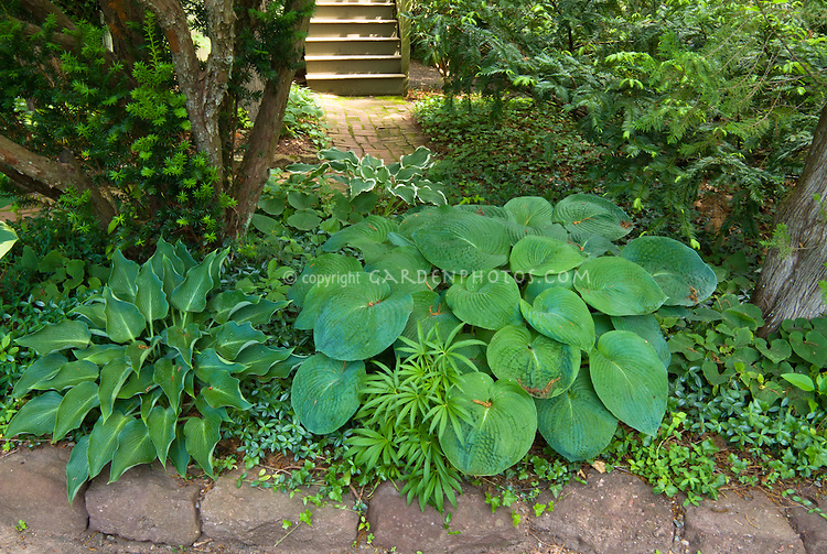 Shade plants Hostas and Helleborus foetidus, Vinca, Hedera ivy as groundcovers, a variety of types of ground covers