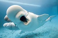 beluga whale, white whale, Delphinapterus leucas (c)