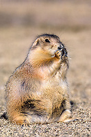 black-tailed prairie dog, Cynomys ludovicianus, eating, North America