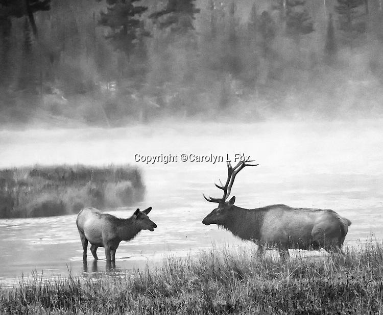 Elk are often seen in Yellowstone.