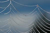 Spinnennetz, Spinnen-Netz  mit Tautropfen, Morgentau, Tau der Marmorierte Kreuzspinne, Spinnenfaden, Radnetz, Araneus marmoreus, Radnetzspinne, Radnetz-Spinne, marbled orbweaver, marbled orb-weaver, Marbled Orb Weaver, marbled spider