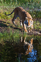 Siberian Tiger approaching its reflection - CA