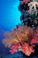 underwater seascape, fan coral, Melithaea sp., soft coral, Dendronephthya sp., Fiji Islands, Pacific Ocean