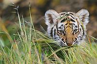 Bengal tiger cub (Panthera tigris)
