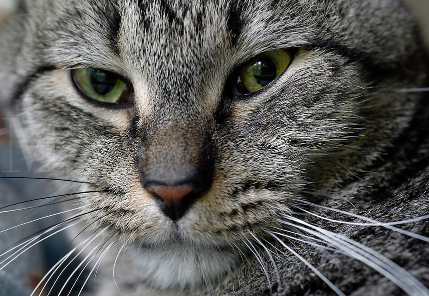 Close-up portrait of a gray tabby cat.