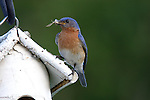 Eastern Bluebird (Sialia sialis) male bringing food to his young offspring.  Summer.  Winter, WI.