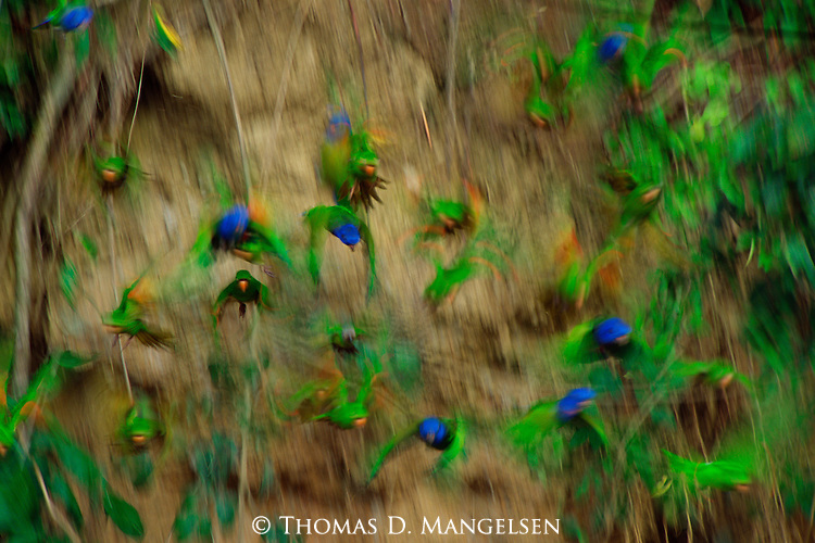 In an explosion of color and light, a flock of blue-headed parrots simultaneously flees from a vertical river bank of exposed clay.