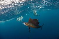 diver, snorkeler, photographer and Atlantic sailfish, Istiophorus albicans, hunting round sardinella or Spanish sardines, Sardinella aurita, baitball, Isla Mujeres, Mexico, Gulf of Mexico, Caribbean Sea, Atlantic Ocean