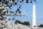 Washington Monument in summer Washington DC, Tidal Basin Washington DC, spring, cherry blossoms, Washington Monument, US Capital, United States Capitol with flags, US flags, Lincoln memorial and Washington monument with spring cherry blossoms on Tidal Basin Washington DC, Washington Monument Washington DC, District, DC, capitol, Potomac River, Washington Metropolitan, metropolitan area, federal district, federal government of USA, US Congress, White House, National Mall, Politics in the United States, Presidential, Federal Republic, United States Congress, powers, Judicial Power, House of Representatives, US Senate, Constitution, federal law, Democratic Party, Republican party, two party system, Washington D.C. fine art photography by Ron Bennett, Washington, D.C. fine art photography by Ron Bennett (c). Copyright Fine Art Photography by Ron Bennett, Fine Art, Fine Art photo, Art Photography,