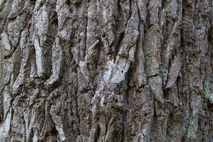 Hybrid Black Poplar {Populus x canadensis} bark of mature tree. Cambridgeshire, UK. September.