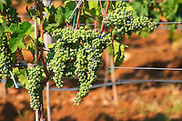 Vines in the vineyard. Grape bunches on the vine. Big bunches just before veraison (grapes taking colour), some grapes have already changed color from unripe green to ripe blue. The vine training pruning method is actually a mix between Cordon de Royat and Guyot according to the vineyard manager. Vranac grape variety. Vineyard on the plain near Mostar city. Hercegovina Vino, Mostar. Federation Bosne i Hercegovine. Bosnia Herzegovina, Europe.