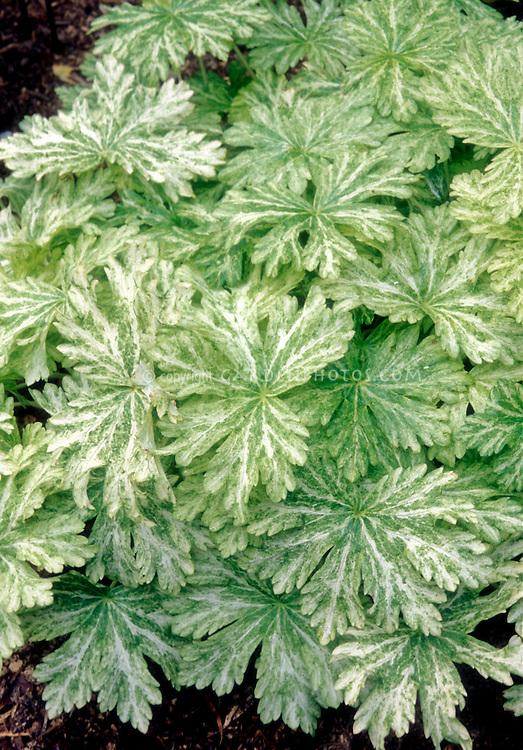Green & white striped mottled foliage of Geranium phaeum Margaret Wilson
