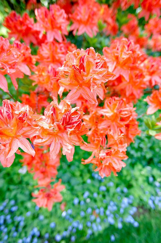 Salmon colored azalea. Bishops Close gardens. Portland. Oregon