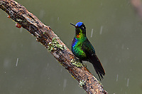 Fiery-throated Hummingbird (Panterpe insignis)