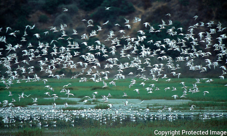 Lagoon Terns