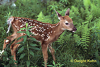 MA11-021z  White-tailed Deer - fawn - Odocoileus virginianus