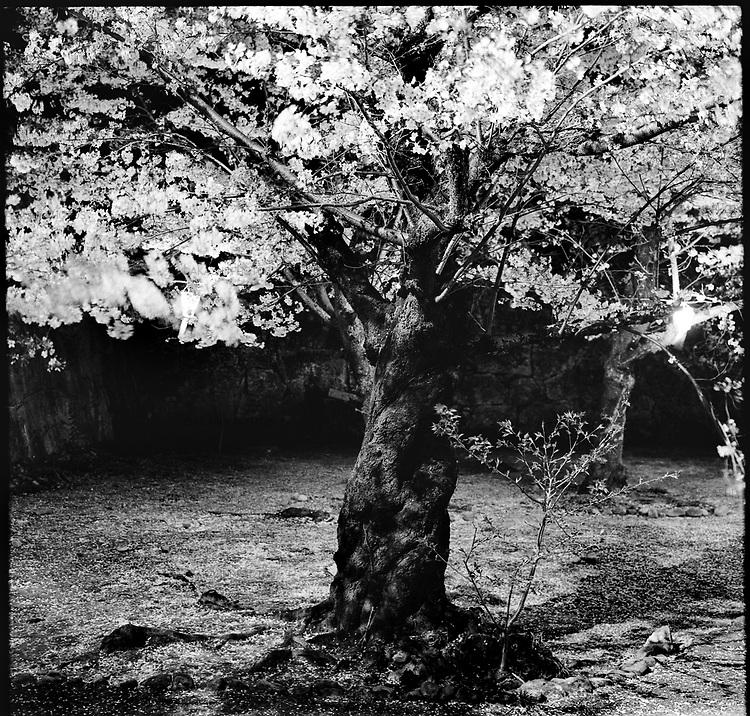 Cherry blossom at night in Tsuyama Castle.<br /> <br /> Cerisiers en fleurs la nuit au château de Tsuyama.