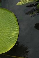 A vitória-régia ou victória-régia (Victoria amazonica) é uma planta aquática da família das Nymphaeaceae, típica da região amazônica. Ela possui uma grande folha em forma de círculo, que fica sobre a superfície da água, e pode chegar a ter até 2,5 metros de diâmetro e suportar até 40 quilos se forem bem distruibuídos em sua superfície. <br /> Outros nomes: irupé (guarani), uapé, aguapé (tupi), aguapé-assú, jaçanã, nampé, forno-de-jaçanã, rainha-dos-lagos, milho-d'água e cará-d'água. Os ingleses que deram o nome Vitória em homenagem à rainha, quando o explorador alemão a serviço da Coroa Britânica Robert Hermann Schomburgk levou suas sementes para os jardins do palácio inglês. O suco extraído de suas raízes é utilizado pelos índios como tintura negra para os cabelos. Também utilizada como folha sagrada nos rituais da cultura afro brasileira e denominado como Oxibata.<br /> Museu paraense Emílio Goeldi<br /> Belém, Pará, Brasil<br /> Foto Paulo Santos/Interfoto<br /> 09/10/2008