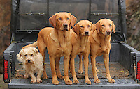 FAO JANET TOMLINSON, DAILY MAIL PICTURE DESK<br />Pictured: Some of the dogs at the back of a farm vehicle Monday 14 November 2016<br />Re: The Dog House in the village of Talog, Carmarthenshire, Wales, UK