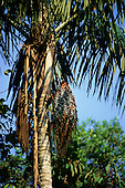 Amazon, Brazil. Acai palm tree (Euterpe oleracea) in the rainforest.