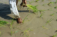 PHILIPPINES, Negros, rice cultivation, farmer replant rice samplings in flooded paddy field / PHILIPPINEN, Negros, Reisanbau, Bauern pflanzen Reissetzlinge in einem bewaesserten Feld um