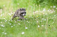 """Waschbär, knapp 2 Monate altes Jungtier, verwaistes, pflegebedürftiges Jungtier wird in menschlicher Obhut großgezogen und spielt im Garten, Tierkind, Tierbaby, Tierbabies, Waschbaer, Wasch-Bär, Procyon lotor, Raccoon, Raton laveur, """"Frodo"""""""
