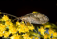 1L41-006z  Brown Lacewing adult on goldenrod -  Hemerobius spp.