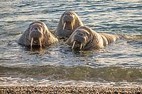 Atlantic walruses, Odobenus rosmarus rosmarus, Moffen Island, Moffen Nature Reserve, Spitsbergen Archipelago, Svalbard and Jan Mayen, Norway, Europe
