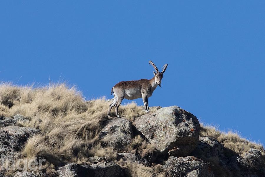Walia Ibex in the Simien Mountains of Ethiopia
