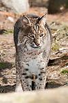 Bobcat walking to camera, vertical