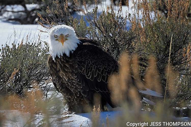 Bald Eagle, Grand Tetons National Park