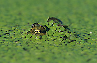 Bullfrog, Rana catesbeiana, adult in duckweed camouflaged, Welder Wildlife Refuge, Sinton, Texas, USA