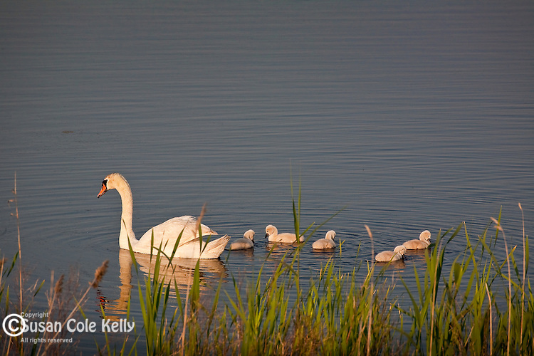 Swan and Cygnets in Cape May State Park, Cape May, NJ, USA