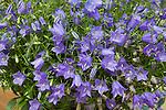 CAMPANULA COCHLEARIIFOLIA 'SWINGING BELLS BLUE', BELLFLOWER
