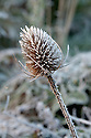 Autumn hoar frost on dried teasel flowerheads, late October.