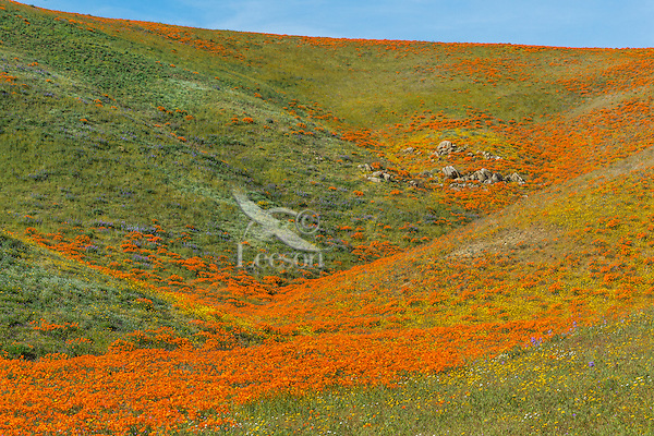 Wild California Poppies (Eschscholzia californica) along with a few goldfields (yellow) and other wildflowers cover rolling hills.  California.  Spring.  Photo taken near the Antelope Valley California Poppy Reserve.