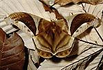 Arsenura moth, Panama