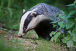 European Badger (Meles meles) foraging in deciduous woodland. June, Mid Devon, UK.
