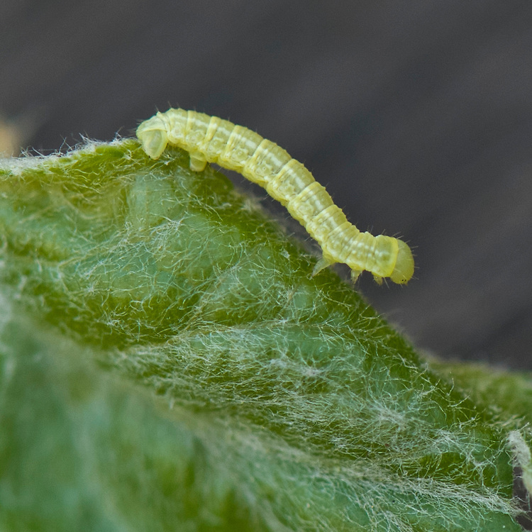 Caterpillar of winter moth (Operophtera brumata) on apple leaf, late April.