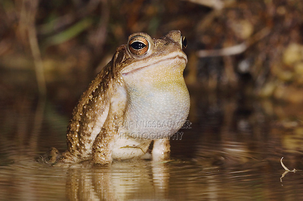 Gulf Coast Toad, Bufo valliceps, male at night calling in spring fed pond, Uvalde County, Hill Country, Texas, USA