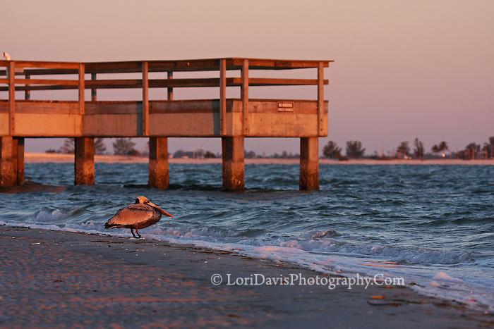 Sunrise Brown Pelican at Dock  #J14