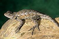 1R18-003b  Fence Lizard - camouflaged - Sceloporus undulatus