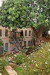 T-064 Carob tree in Jerusalem