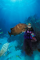 scuba diver with friendly Nassau grouper, Epinephelus striatus, an Endangered Species, Walker's Cay, Abaco Islands, northern Bahamas, Caribbean (Western Atlantic Ocean)