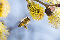 Honigbiene, Honig-Biene, Europäische Honigbiene, Westliche Honigbiene, Biene, Bienen, Apis mellifera, Apis mellifica, Blütenbesuch auf Weide, Salweide, Nektarsuche, Blütenbestäubung, Pollenhöschen, Flug, fliegend, honey bee, hive bee, western honey bee, European honey bee, bee, bees, L'abeille européenne, l'avette, la mouche à miel