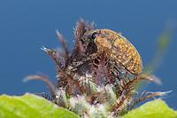 Kurzrüssliger Distelrüssler, Kurzrüsseliger Distelrüssler, Distelrüssler, Distelrüßler, Larinus obtusus, Larinus dissimilis, blunt knapweed flower weevil, seedhead weevil