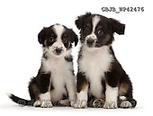 Kim, ANIMALS, REALISTISCHE TIERE, ANIMALES REALISTICOS, fondless, photos,+Two Mini American Shepherd puppies,++++,GBJBWP42476,#a#