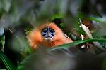 Adult red leaf monkey or maroon langur (Presbytis rubicunda chrysea) in rainforest understorey.  Danum Valley, Sabah, Borneo.
