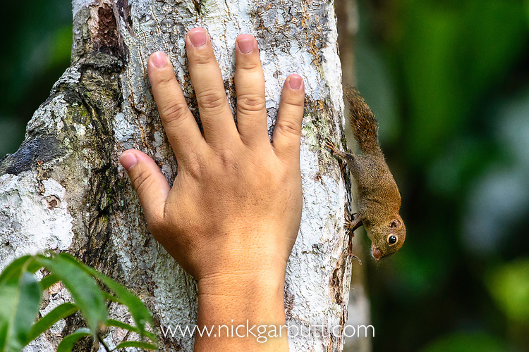 Bornean pygmy squirrel (Exilisciurus exilis) on tree trunk with human hand for actual size comparision. Kinabatangan River, Sabah, Borneo. (composite image)