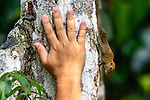 Bornean pygmy squirrel (Exilisciurus exilis) on tree trunk with human hand for actual size comparision. Kinabatangan River, Sabah, Borneo. (composite image)